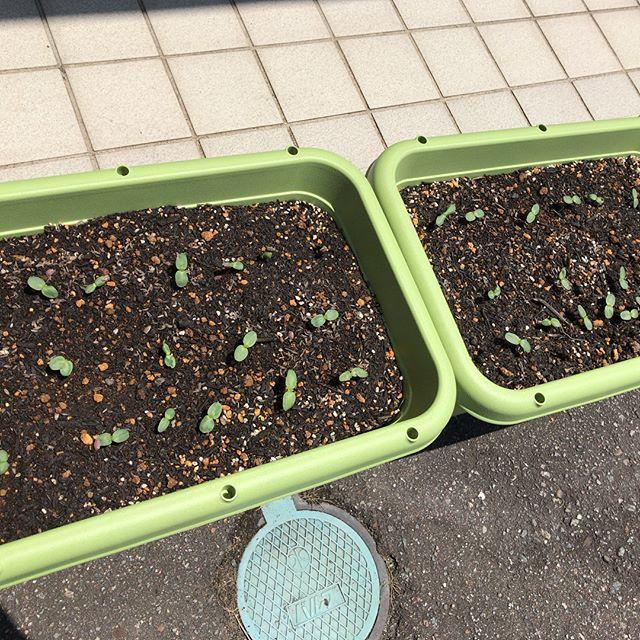 今年は店前にヒマワリを植えました️種から植えて、2〜3日でもう芽がでてきました️今年の夏はヒマワリで賑やかな店前になるかと思うとものすごく楽しみです️#太陽めがね#ひまわり#芽がでた!#今年の夏はヒマワリ祭り!#ヒマワリ計画進行中!