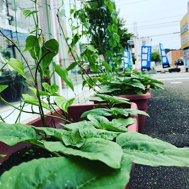 お店の『宇宙いも』と『ヒマワリ』の合体グリーンカーテン、すくすく成長中でございます!今年は夏が待ち遠しいー!#太陽めがね#グリーンカーテンもうすぐだ!#宇宙いもとヒマワリの成長の早さにビックリ!