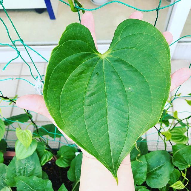 お店のグリーンカーテンの『宇宙いも』の葉は大きく成長中️めーいっぱい広げた手のひらと、ほぼ同じ大きさに️真夏の厳しい日差しを、がっつりと遮ってくれる救世主になりそうだ️(≧∀≦)#太陽めがね#宇宙いも#スクスク成長中!#救世主あらわる️
