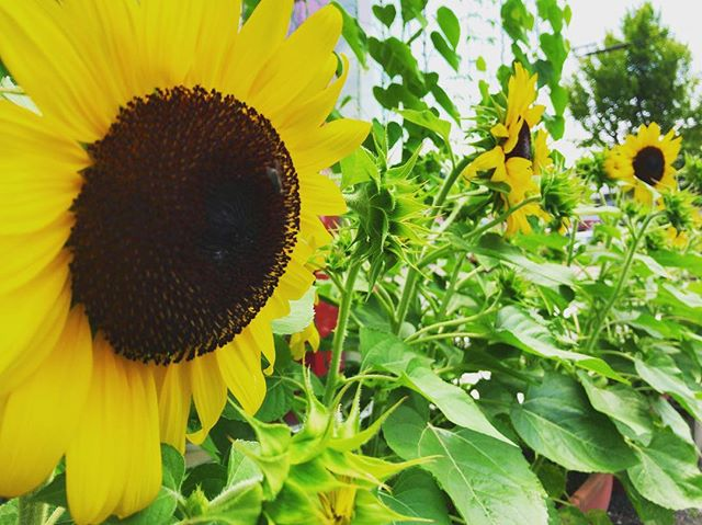 ヒマワリがつぎつぎに開花しています️宇宙イモの蔓も、もう少しで屋根に到達しそうです(≧∀≦)今年はにぎやかなグリーンカーテンになってくれてうれしいです️️朝、出勤してきた時、たくさんのお花が出迎えてくれると、うれしいもんですね️#太陽めがね#水やり頑張るぞ!